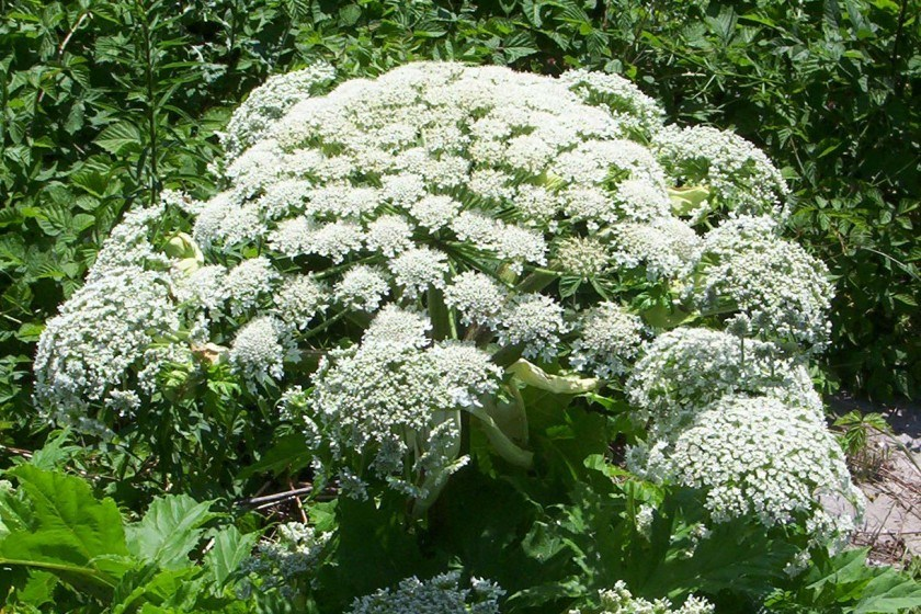 Giant Hogweed Reminds Us That Not All Plants Are Harmless…