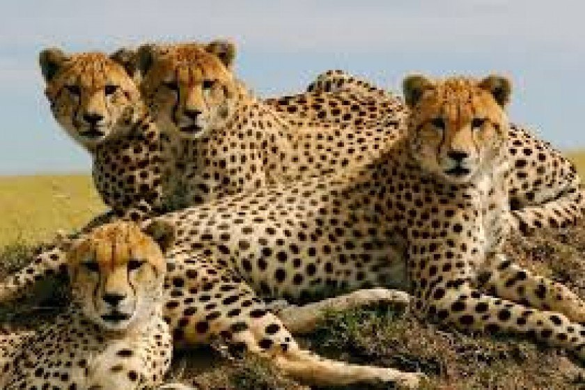 The Cheetah: One of Nature's Great Survivors