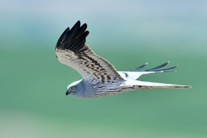 Could the iconic hen harrier be facing extinction in the UK?