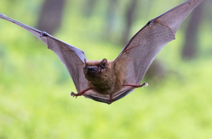 Bats tricked into colliding with buildings