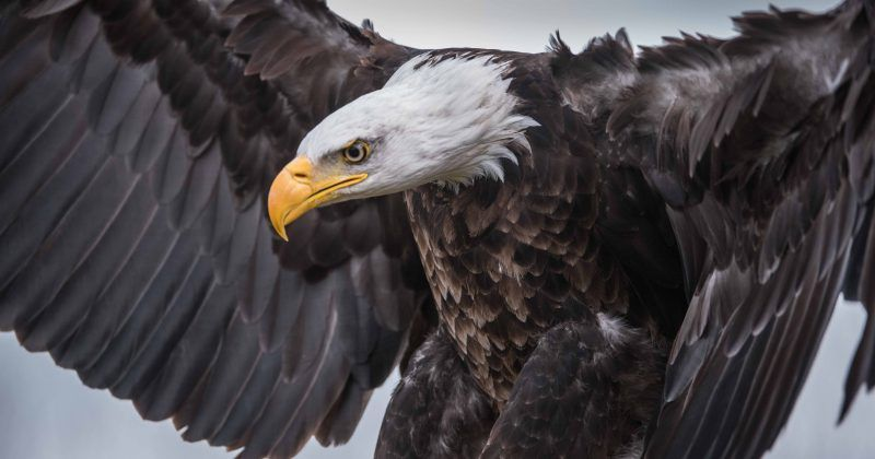 Eagles killed and sold illegally on the black market