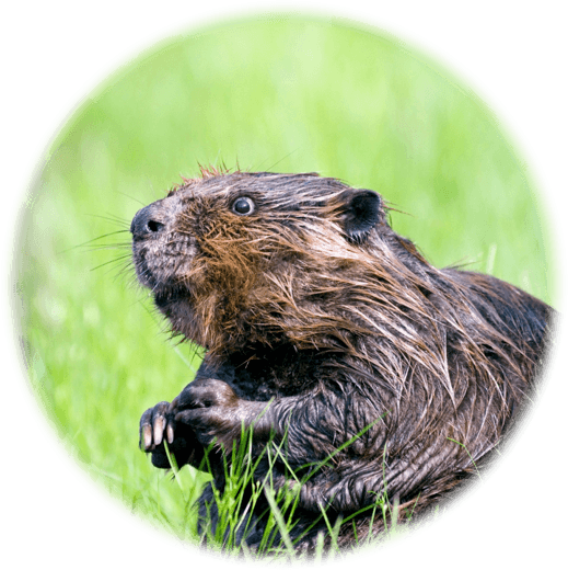 Beaver Sexing Service
