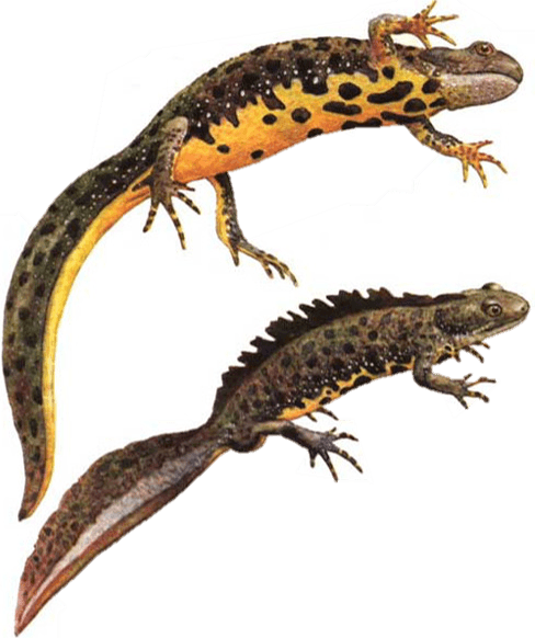 Males and female great crested newt - DNA testing