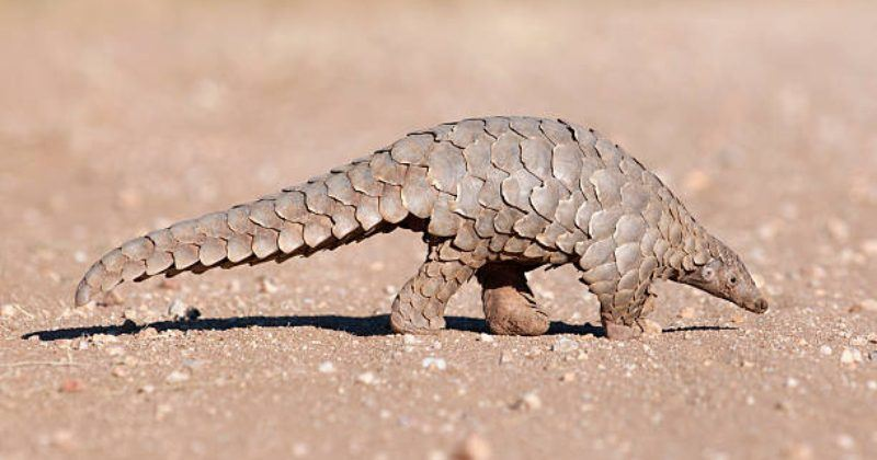 Pangolins 'Scaly Anteaters' – The Worlds Most Trafficked Mammal