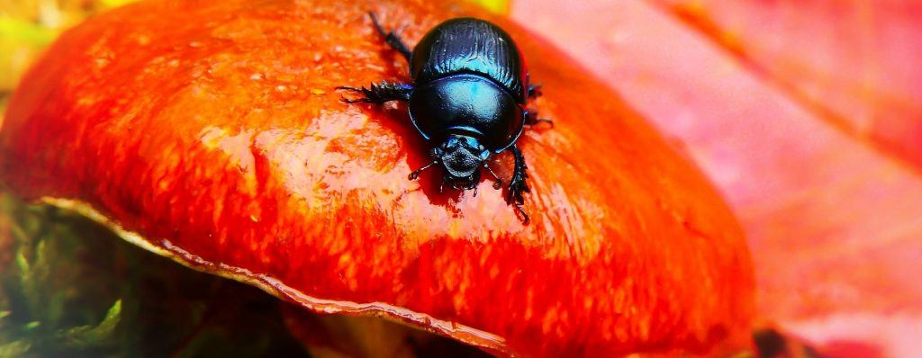 Beetle on Mushroom - DNA Barcoding / Species Identification