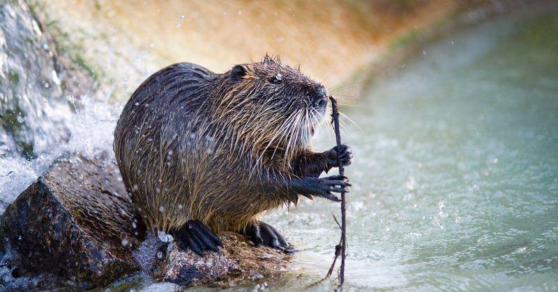 Britain's Beavers