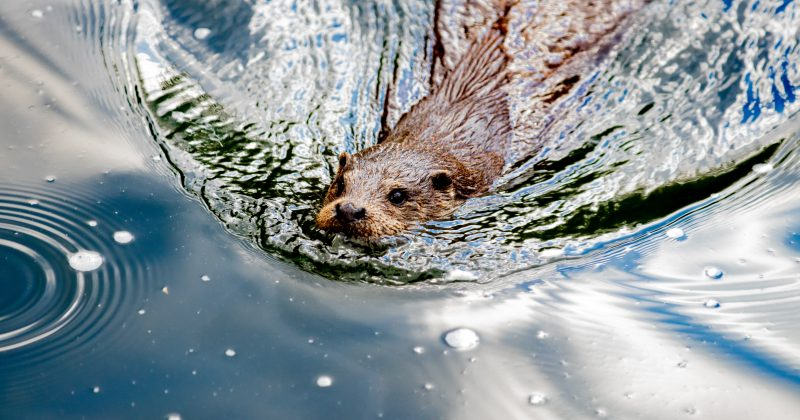 The re-emergence of the beaver